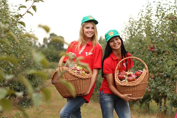Актыў БРСМ збірае ўраджай у яблыневым садзе  сельскагаспадарчага прадпрыемства «Усход».