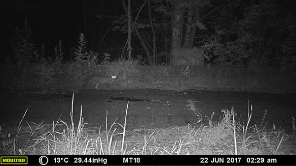 ВРеспублике Беларусь увидели лесного кота, который 90 лет числился вымершим