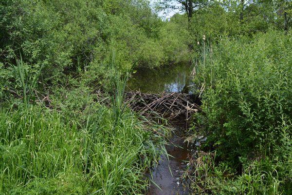 Плотина, построенная бобром, почти на метр подняла уровень воды в реке.