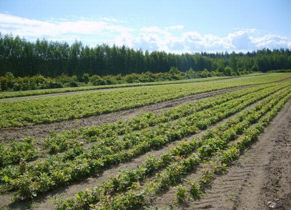 На такіх агромністых плантацыях вырошчваюць саджанцы.