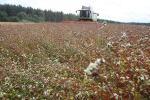 В Беларуси убрано более половины площадей гречихи