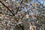 В Минске цветет сакура (ФОТО)