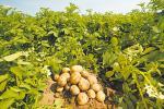 Як у Беларусі ствараюць новыя сарты сельгаспрадукцыі