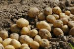 Уборка картофеля завершается в Беларуси