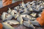 Специалисты Минсельхозпрода разработали комплекс мер по развитию рыбоводства