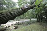 Как правильно избавиться от опасного дерева