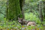 Эколаг Ірына Кашпей: Убачыў воўка — радуйся