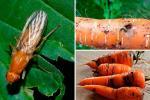 Як пазбавіцца ад маркоўнай мухі без хіміі