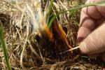 З агнём навыперадкі. Чаму выпальванне травы зноў збірае ахвяры?