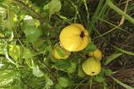 Якія новыя культуры варта пасяліць у садзе?