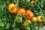 Несколько слов о сборе огурцов и уходе за помидорами