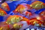 Улады Нідэрландаў запатрабавалі ў мужчыны злавіць 80 залатых рыбак