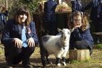 Школа ў Брайтане завяла карлікавых коз