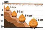 Найлепшы час для высадкі цыбульных культур — верасень—кастрычнік