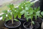 10 памылак пры вырошчванні расады памідораў