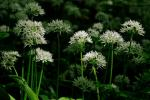 """Медвежий лук"": трава, дающая силу"