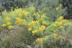 Фальшивое золото золотарника. Не дайте цветам превратиться в семена!
