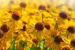 Кветкі, якія трэба сеяць у студзені