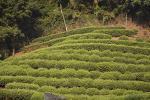 Зеленый чай помогает китайцам выглядеть молодыми