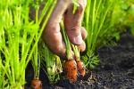Пасадка морквы і радыскі на зіму: як зрабіць гэта правільна?