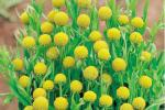 Як вырасціць сунічную траву