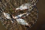 Затрыманы жыхары Калінкавіч, якія незаконна здабывалі рыбу
