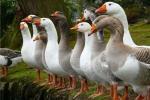 У Брытаніі адпуджваюць лазерамі гусей