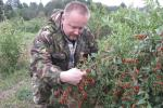Годжика по-гродненски. Фермер на неудобице выращивает экзотические ягоды