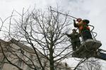 Деревья в городе: жертвы обрезки и уплотнительной застройки