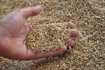 В стране в этом году собрали более 5 миллионов тонн зерна