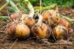 10 секретов урожайного лука