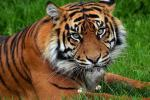 В космос отправили ДНК китайского тигра