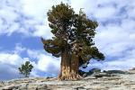 Китайцы спасли 1300-летнее дерево