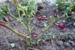 Восеньская падкормка для агарода і руж