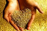 Аграрыі плануюць сабраць каля 7 млн тон збожжа