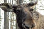 У Мёрах лось зайшоў на школьны двор і пабіў вокны