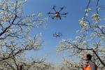 Грушы апылялі дроны