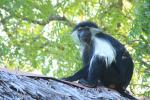 Колобус: обезьяна с печальным взглядом