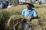 «Холодный» ген риса