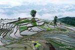 Рисовые «террасы»