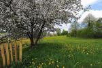 У белых садоў час