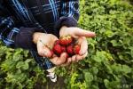 На Брестчине уже продают первую белорусскую клубнику