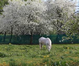 Як выглядае старажытнае беларускае мястэчка падчас майскага цвіцення