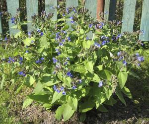 Зялёнае ўгнаенне — каштоўная знаходка для садаводаў і дачнікаў
