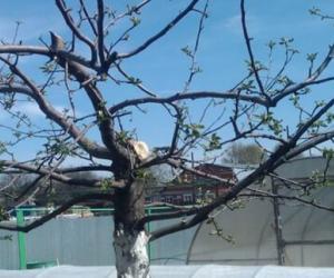 Нужно ли снижать высоту деревьев в саду?