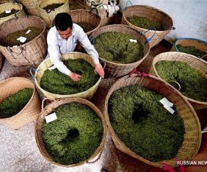 """В провинции Фуцзянь уже четыре века выращивают """"золотые брови"""""""