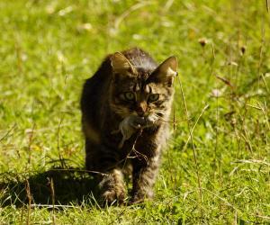 Кошка-инкогнито, или То, что вы могли не знать о кошках