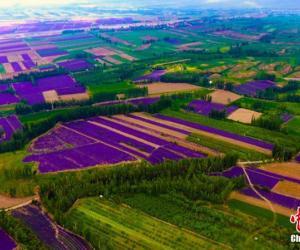 Зацвіла лаванда ў Сіньцзяне