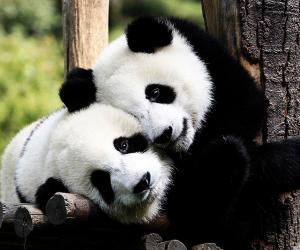 Суд для защиты больших панд