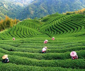 У Кітаі створана Асацыяцыя чайнай індустрыі